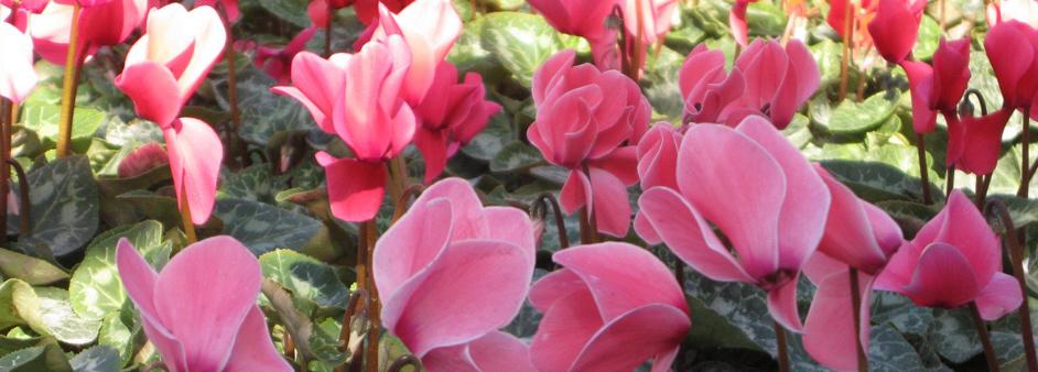 cyclamen floristeria lislore